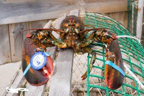 Tout sur le homard de Gaspésie